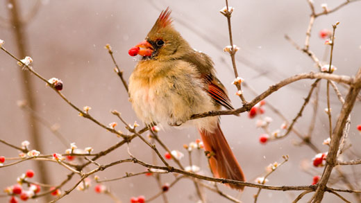 A female cardinal eats a berry on the Manhattan campus.