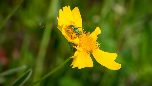 Sweat bee and parasitic wasp