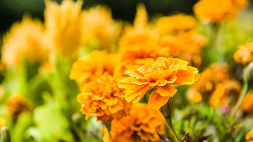 Marigolds bloom on campus