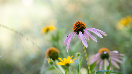 Purple coneflowers bloom in the Gardens.