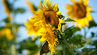 A monarch butterfly sits on sunflowers at the Kansas State University Gardens.