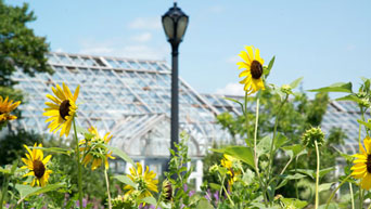 Sunflowers stand tall at The Gardens at Kansas State University's Manhattan campus.
