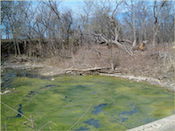 Algae in ponds can pose health dangers to livestock and pets.