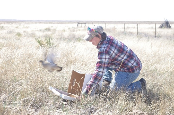 Carly Aulicky releasing Lesser prairie-chicken (Tympanuchus pallidicinctus)
