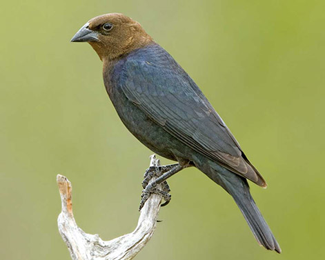 Brown-headed Cowbird Molothrus