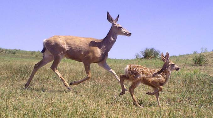 Mule Deer Doe and Fawn - Photo taken by trail camera