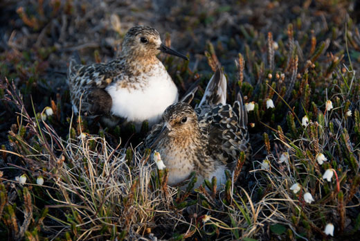 Sanderling mated pair