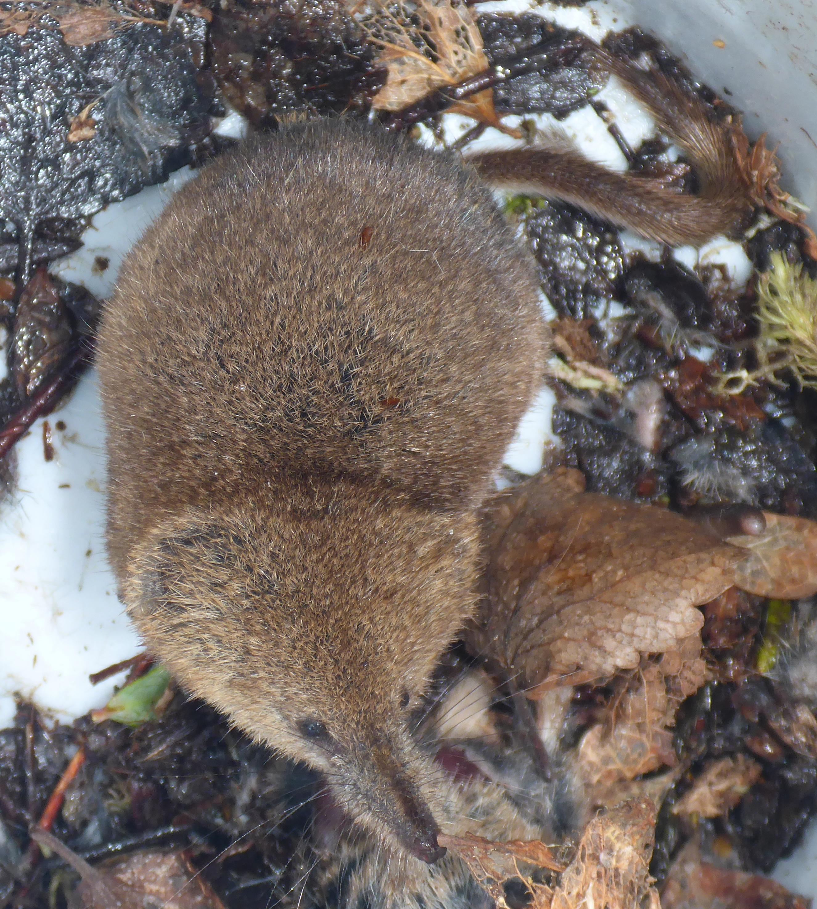 Study of Arctic shrews, parasites indicates how climate change may affect  ecosystems and communities | Kansas State University | News and  Communications Services