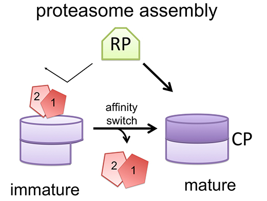 Proteasome assembly