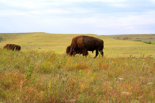 Bison need large spaces to roam and forage.