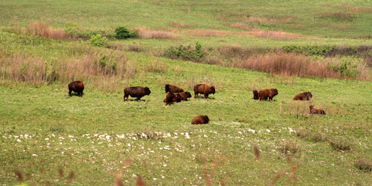 Bison are very influential members of the prairie.