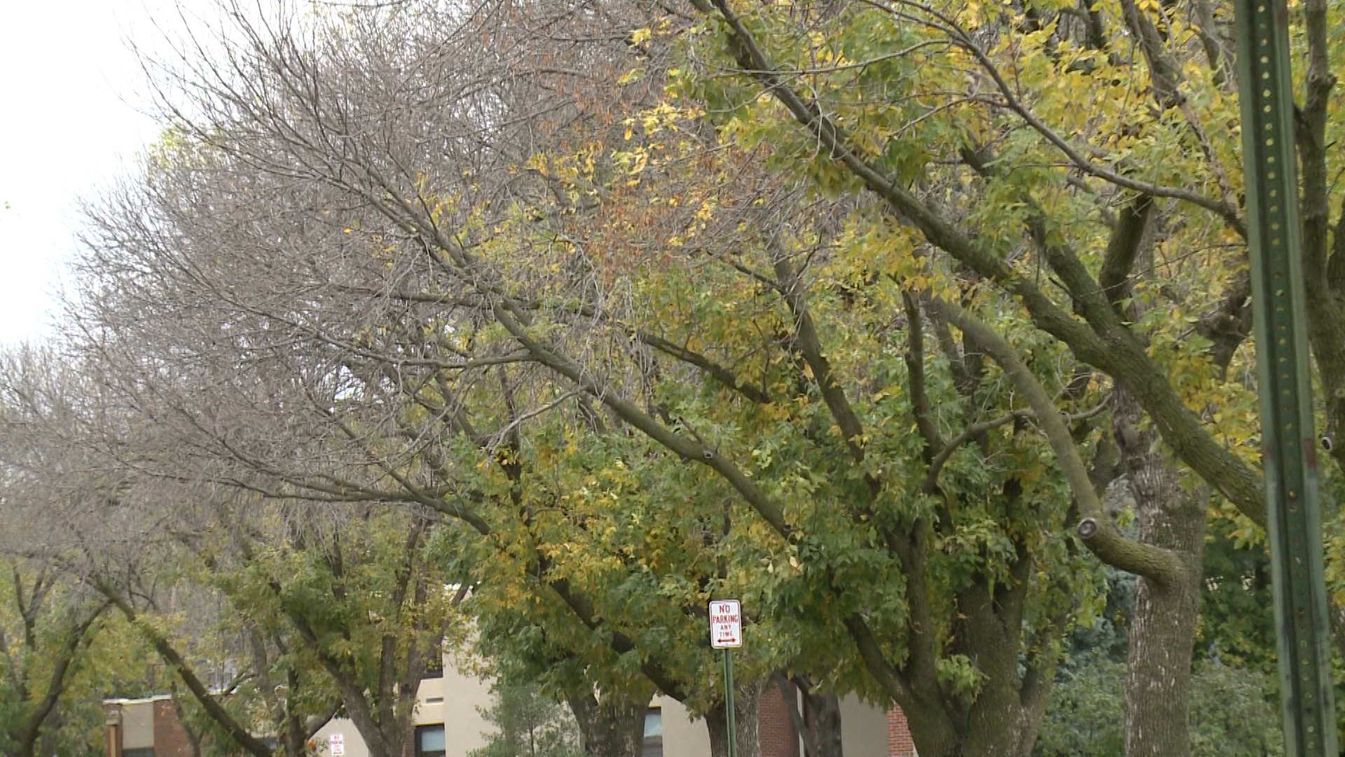how to tell if ash tree is infected