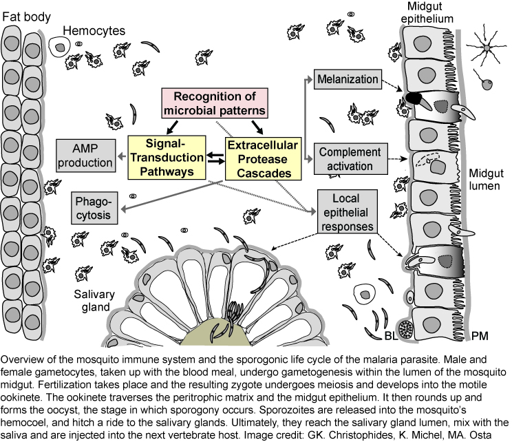 diagram of the mosquito's immune system