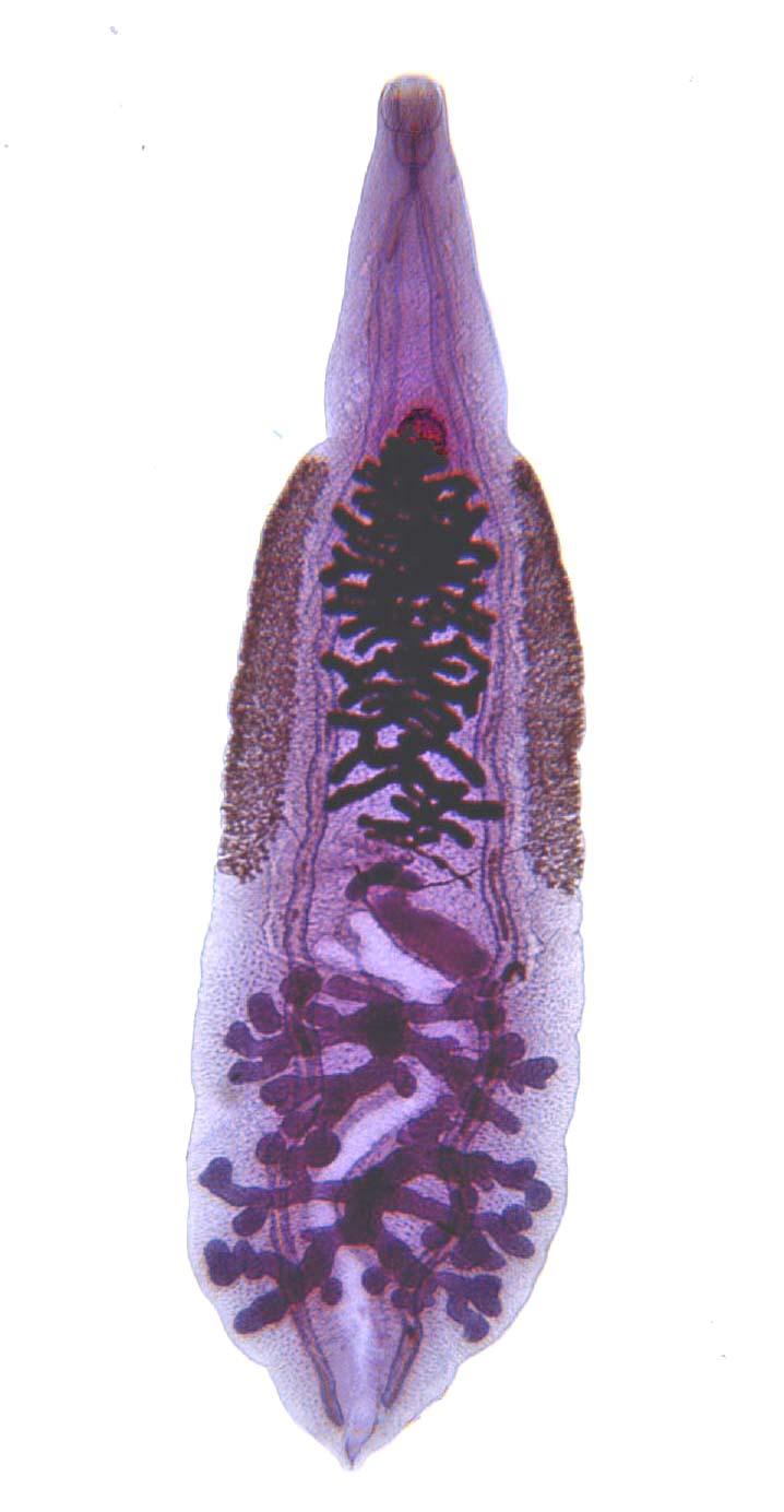 Эти гельминты плоские шириной 2—4 мм, длиной 10—20мм