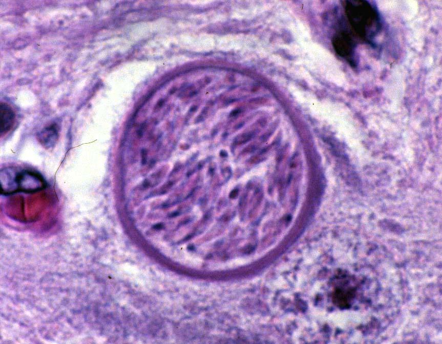 Neospora Neospora Caninum