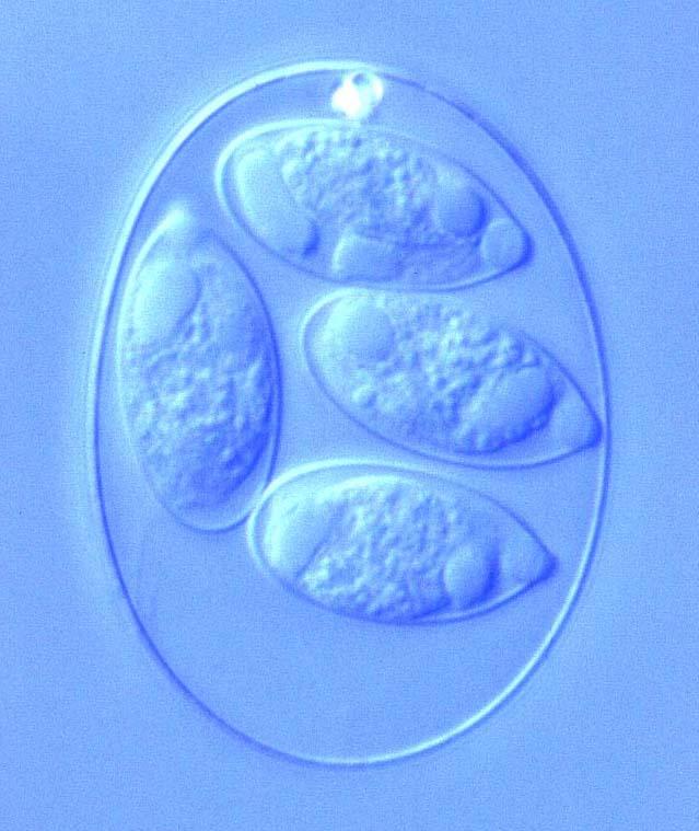 Cestodes, Trematodes, Protozoa Flashcards