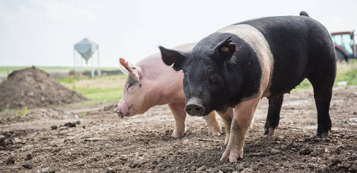 K-State researchers are studying African swine fever virus.