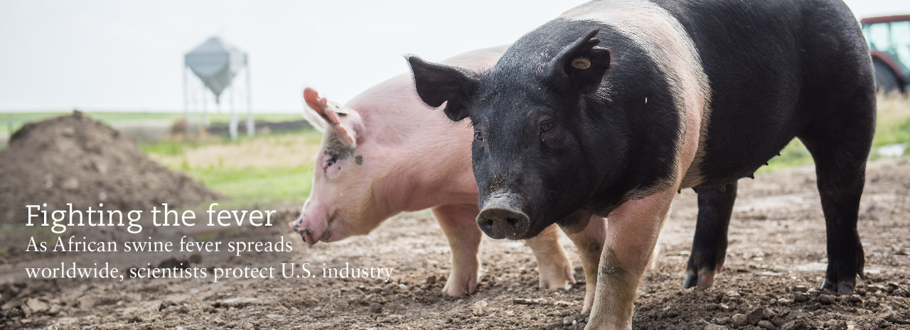 Fighting the Fever: As African swine fever spreads worldwide, scientists protect U.S. industry