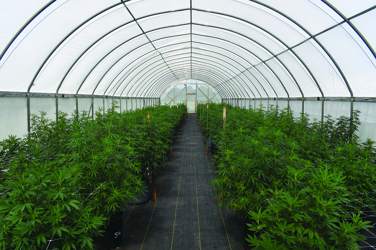 Growing hemp inside of high tunnels, which are crop shelters similar to greenhouses, is one of the numerous growing methods that researchers at the John C. Pair Horticultural Center are testing.