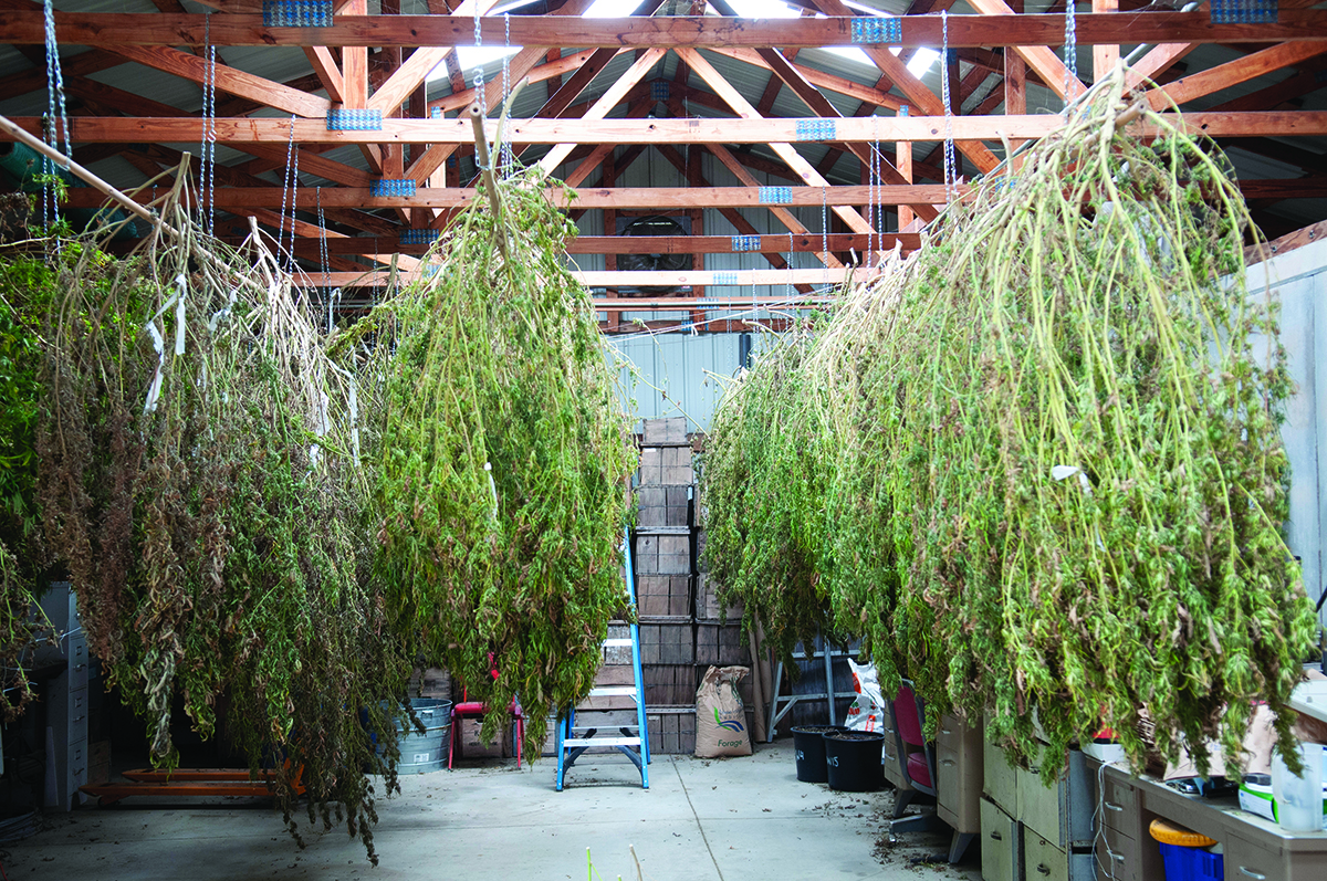After CBD hemp is harvested, the plants are hung to dry, then the flower portions are mechanically separated so they can be processed to yield CBD oil.