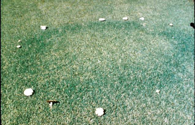 Fairy ring dead grass patches