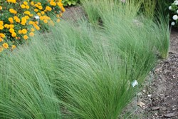 Stipa lessingiana ornamental grasses resources turf for Ornamental lawn grass