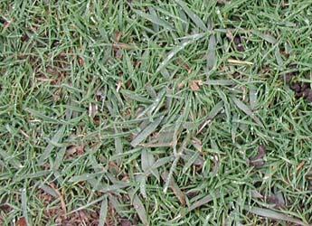 Black Medic Broadleaf Weeds Weeds Problem Solver